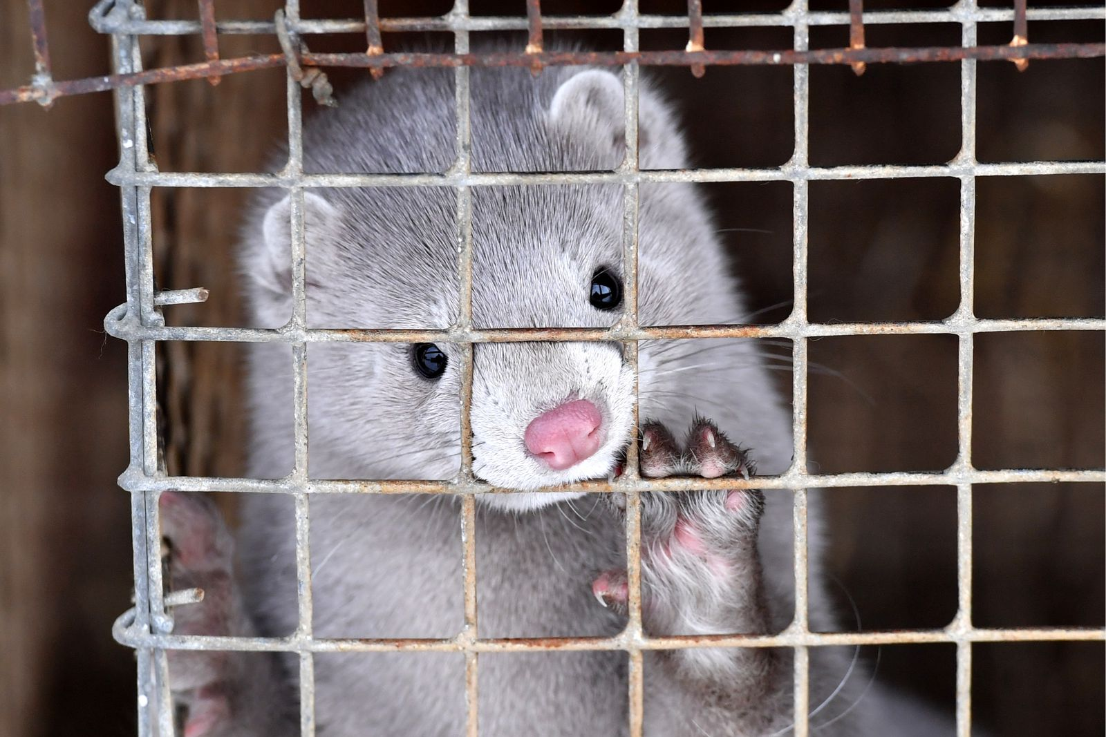 Covid 19 Reaches Mink Farms In Utah Smart News Smithsonian Magazine