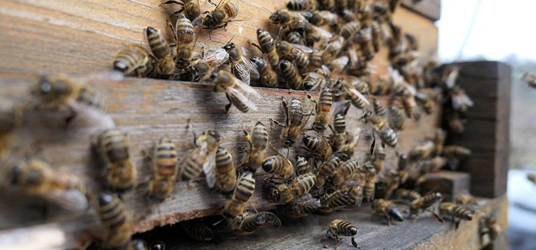 Caption: Honey Bees on Notre-Dame's Roof Survived the Fire