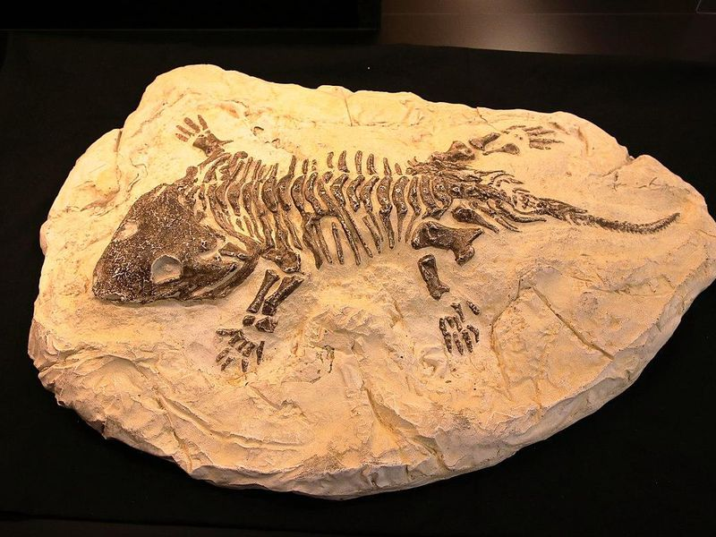 Fossil of a Seymouria (extinct)