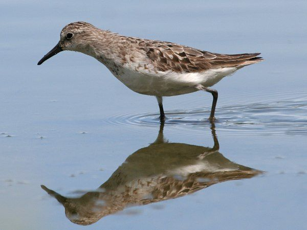 The skittish semipalmated sandpiper is always on the edge of a panic attack.