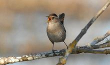 The Irish Used to Celebrate the Day After Christmas by Killing Wrens