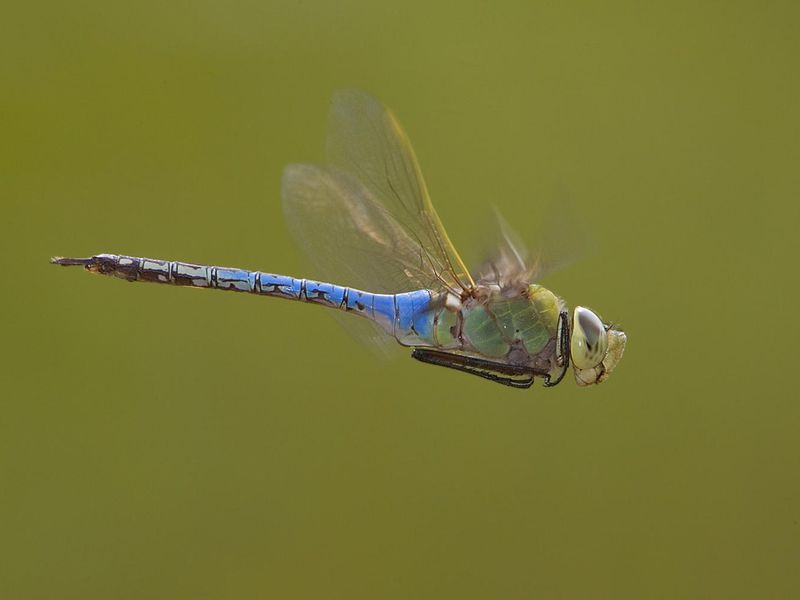 Dragonflies Embark on an Epic, Multi-Generational Migration
