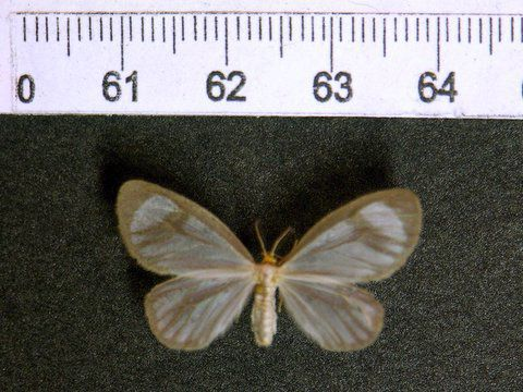 cocaine tussock moth