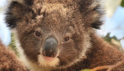 Why Koalas' Mating Bellows Sound More Like a Choking Tiger, Less Like a Small, Cuddly Herbivore