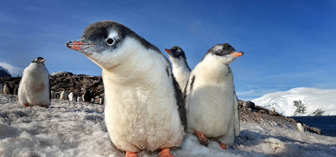 "A group or ""waddle"" of penguins. Credit: Max Seigal"