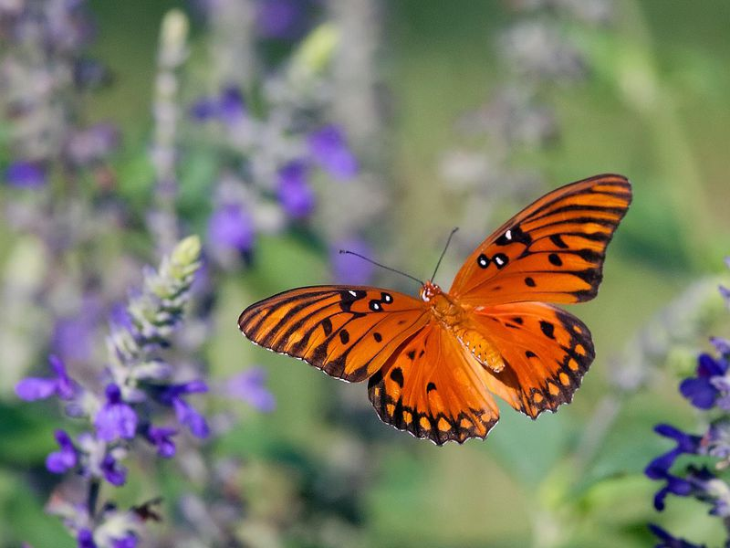 Gulf_Fritillary_in_Flight_0571.jpeg