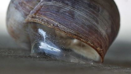 Snail-Inspired Super Glue Can Support the Weight of a 200-Pound Human