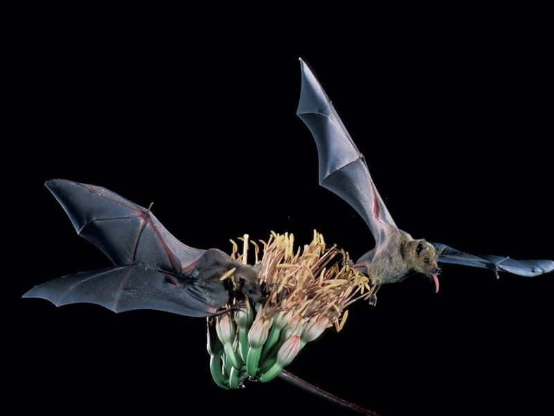 bat species recovery