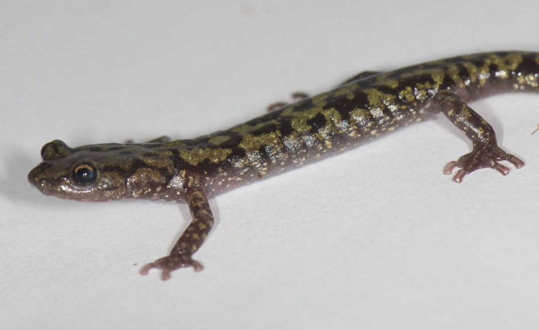 One-third of all salamander species are found in the United States, half of which live in Appalachia. Many salamander species are endangered.