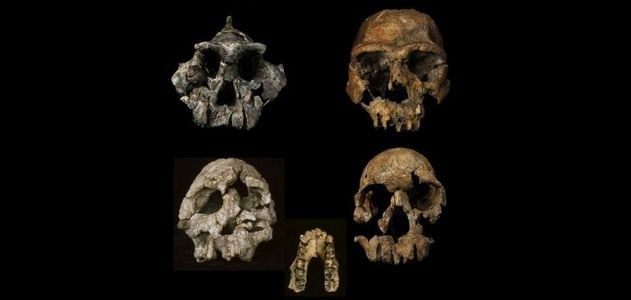 Some of the toothy fossils that clued researchers in on our ancestor's grass-eating tendencies.