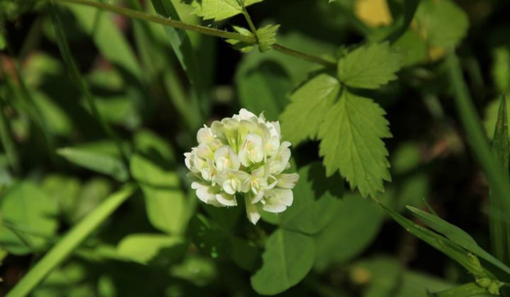 Clover Believed Extinct Coming Off Endangered List