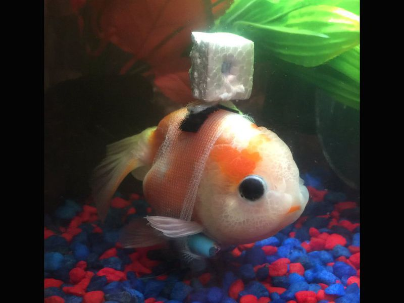 Don T Get Too Excited About That Viral Goldfish Wheelchair Smart