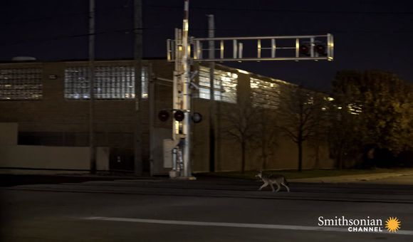 Preview thumbnail for video'Chicago's Urban Coyotes Are Fascinating Scientists