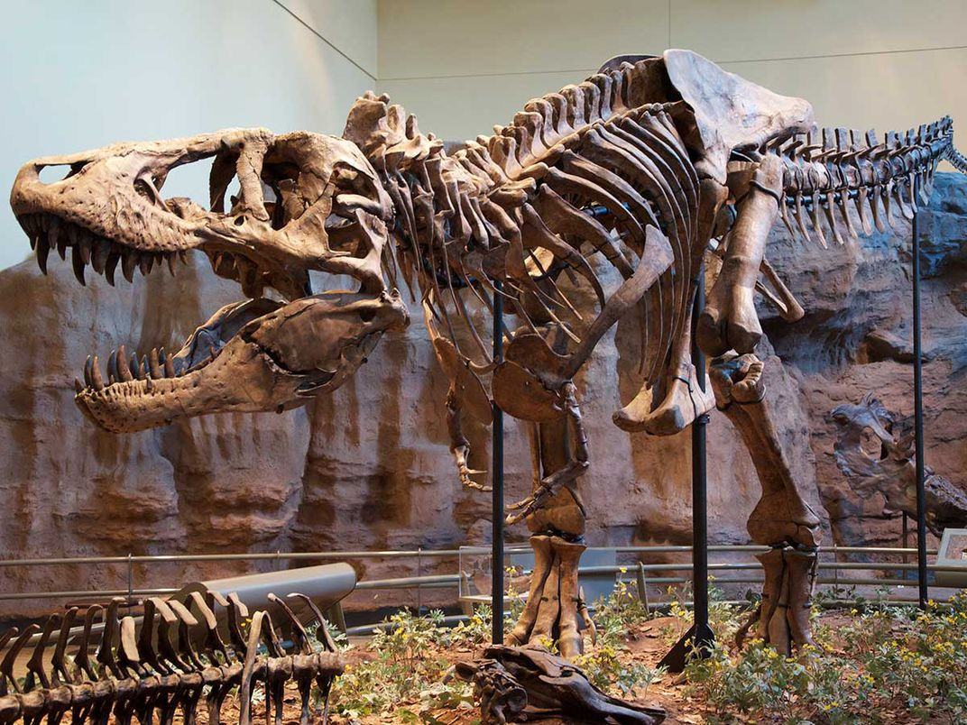 A Tyrannosaurus rex holotype at the Carnegie Museum of Natural History (ScottRobertAnselmo CC BY-SA 3.0)