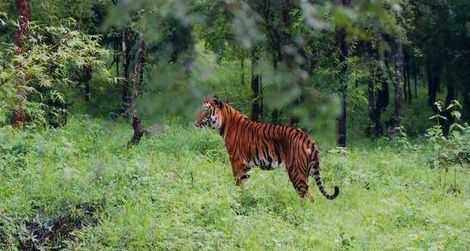 A tiger in the Bhadra Wildlife Sanctuary in India