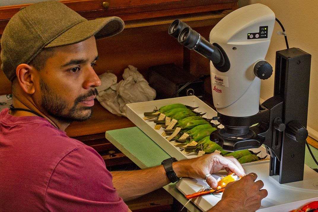 Sahas Barve uses a microscope to observe an orange bird specimen. A tray of green bird specimens is on the table nearby.