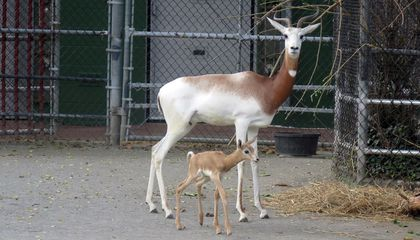 Dama Gazelle Calf Born at Smithsonian's National Zoo