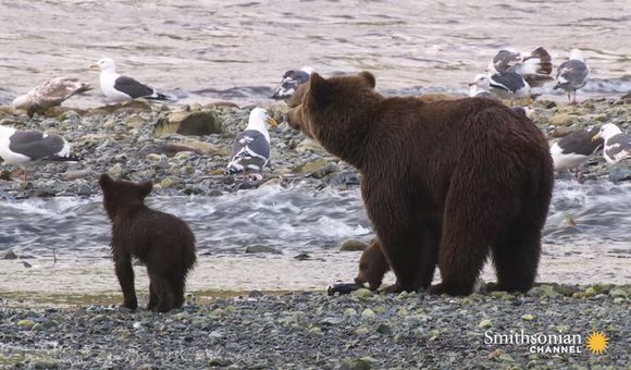 Preview thumbnail for video'These Grizzly Cubs Don't Know What to Do With Their Food