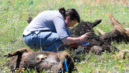 To Study Mass Die-Offs, Scientists Dumped 15 Tons of Feral Pig Carcasses Into a Field