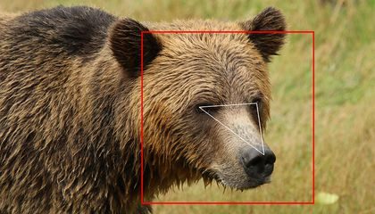 New A.I. Offers Facial Recognition for Grizzly Bears