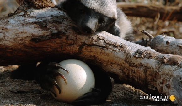 Preview thumbnail for video'A Honey Badger Cracks Open a Thick Ostrich Egg