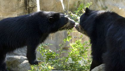 Seeing Double: Andean Bear Cubs Born at the National Zoo