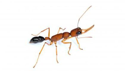 This Ant Can Shrink and Regrow Its Brain