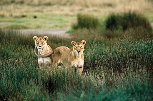 the truth about lions science smithsonian communal living is a form of defense especially for female lions anup and manoj shah shahimages com
