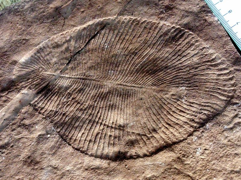 Scientists confirm mysterious fossils belong to Earth's earliest animal