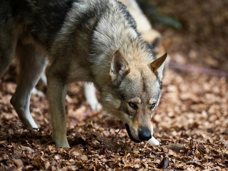 When And How Did Wolves Become Dogs Science Smithsonian