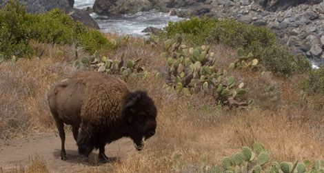 The bison may never leave Catalina Island.