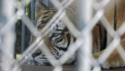 America Has a Tiger Problem And No One's Sure How to Solve It