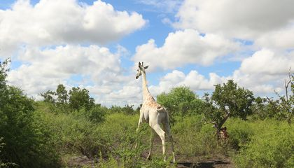 World's Only Known White Giraffe Now Has a GPS Tracker
