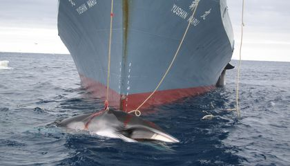 Japan Has Been Ordered to Stop Whaling Near Antarctica