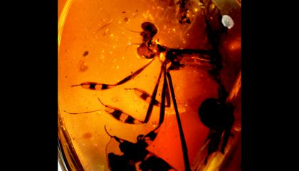 Flirtatious 100-Million-Year-Old Damselflies Found Frozen in Amber