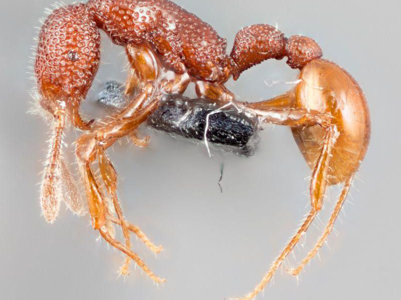 Rare Cannibal 'T. Rex' Ants Spotted for the First Time Ever