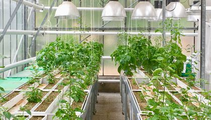 How Pepper Plants Pick the Perfect Path for Putting Down Roots