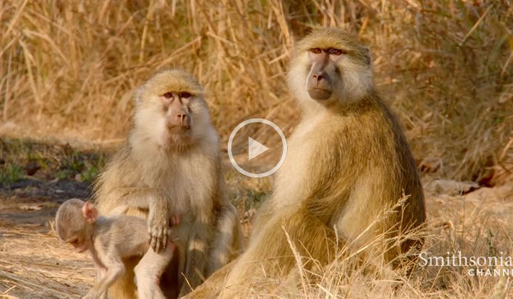 A Biologist Studies a New Species of Baboon