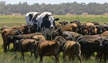 Here's How That Cow Got So Large
