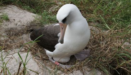 Wisdom, the World's Oldest Albatross, Laid an Egg