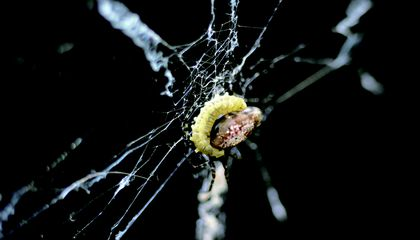 Parasitic Wasps Turn Spiders Into Zombie Weavers