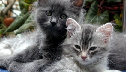 A Deadly Virus Is on the Rise for Australia's Cats