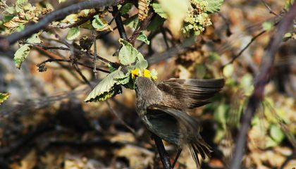 Why Some of Darwin's Finches Evolved to Drink Blood