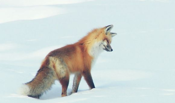 Preview thumbnail for video'Red Fox Hilariously Pounces Headfirst Into Snow