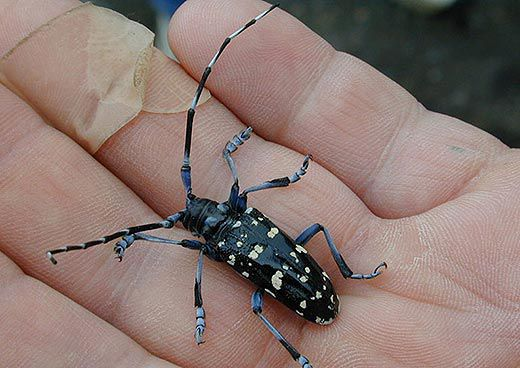 Citrus longhorned beetle