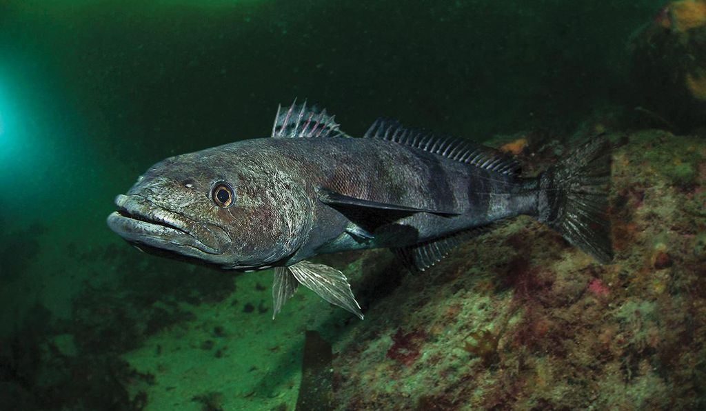 The Antarctic toothfish can grow to be six feet long and, as a large, active predator, plays an important role in its frigid southern ecosystem.