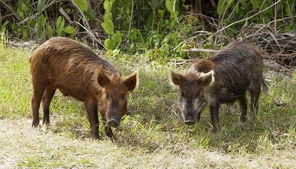 Texas Approves Pesticide Targeting Wild Pigs