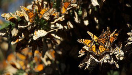 Scientists Are Still Baffled by Monarch Migration