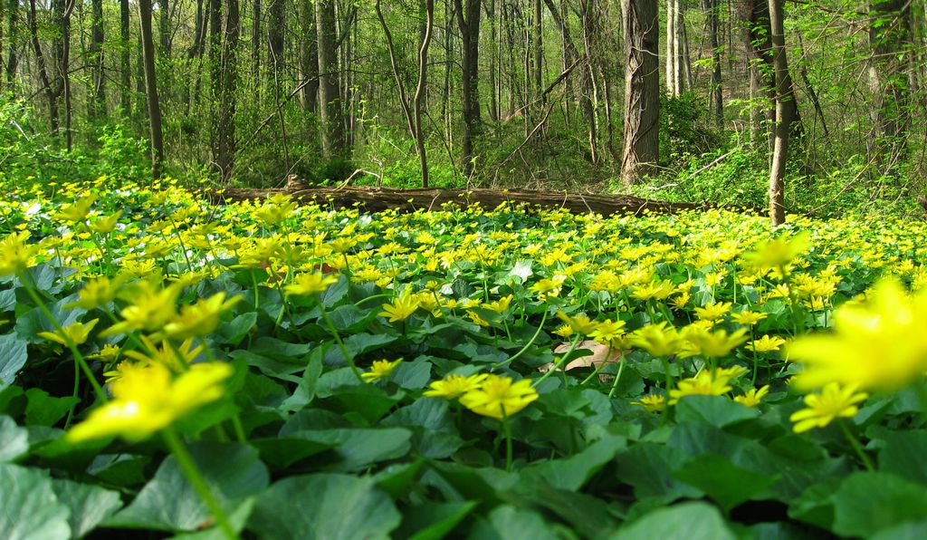 It looks pretty, but lesser celandine is considered a noxious weed in the U.S., as it crowds out more beneficial plants.