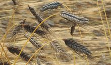 Sequencing of Wheat Genome Could Lead to a Breadier Future